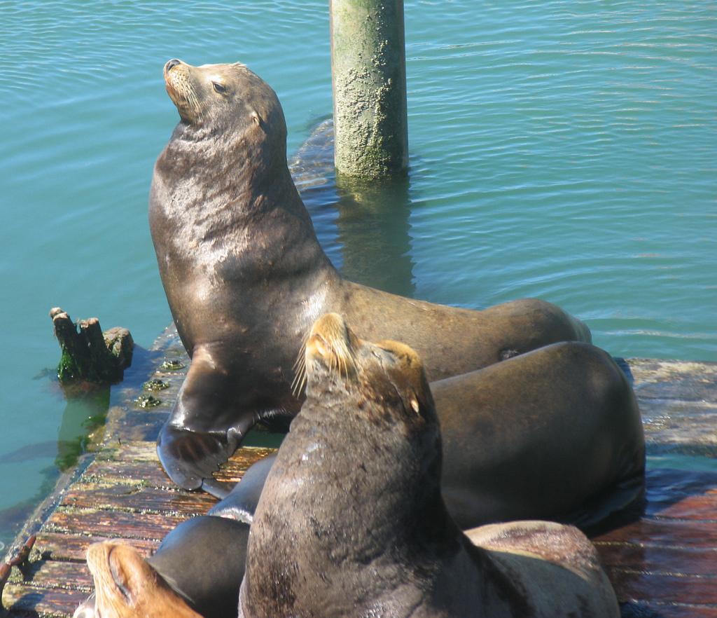 CA sea lion couple (LGH)
