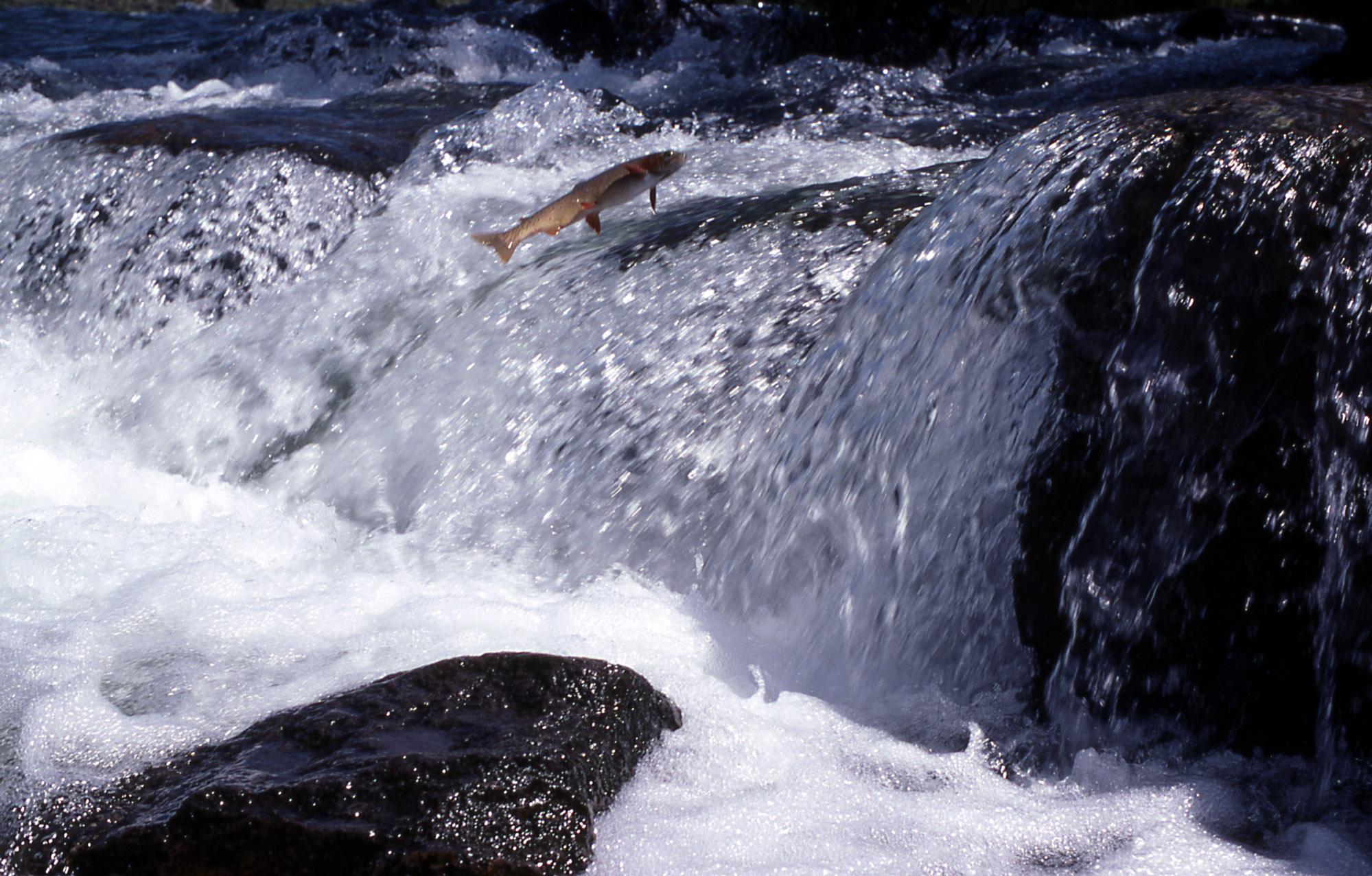 Cutthroat Trout leaping at LeHardy Rapids; Harlan Kredit; 1976